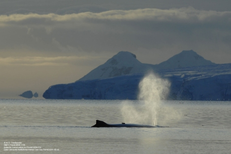 A tagged humpback whale surfaces in Antarctica.