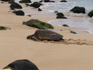 HiwaHiwa is an adult female green sea turtle that frequently basks on the beach in Laniakea.