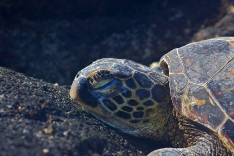 A juvenile green sea turtle basking on the coast of Kona, Hawaii.