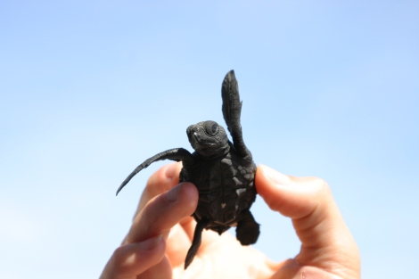 This tortuguita invites you to help protect sea turtles!