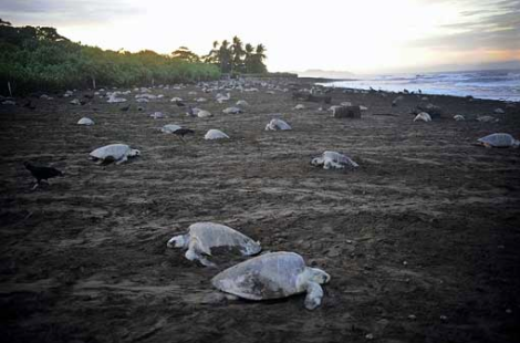 Mass nesting of olive ridleys on Playa Ostional.
