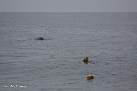 An endangered humpback whale entangled in a crab pot inside the Monterey Bay National Marine Sanctuary.