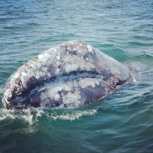 Eastern Pacific gray whale, photo taken by Rachel Tuck in San Ignacio Lagoon in April 2014.