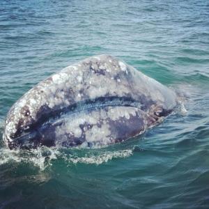 Eastern Pacific gray whale, photo taken by Rachel Tuck in San Ignacio Lagoon in April 2014.