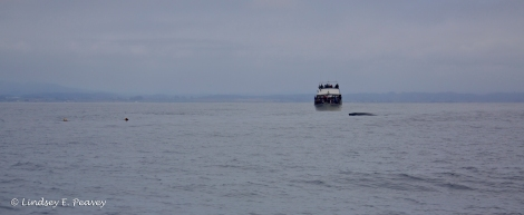 "Three whale watching vessels, the ""Pt Sur Clipper,"" ""High Spirit,"" and ""Ranger"" helped keep an eye on the entangled humpback until the NMFS disentanglement team arrived."