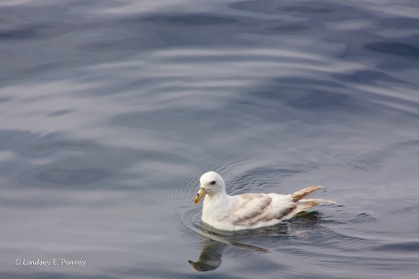 This light-morph Northern fulmar was hanging out in the lee during our blue whale sighting.