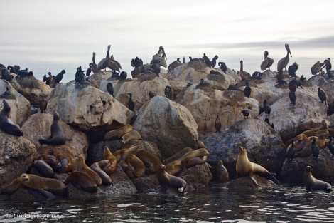 There were so many sea lions they couldn't all fit on the rock wall, so hundreds were rafting together nearby.